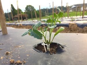 Grafted and pinched tomato plant