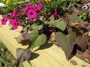 Excellent Cultivar: Sweet Potato Vine 'Ace of Spades'