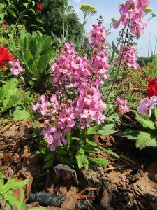 Excellent cultivar Angelonia 'ArchAngel Pink'