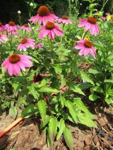 Excellent Cultivar PowWow Wildberry